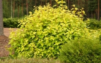 Пузыреплодник калинолистный Дартс Голд <br>Пухироплідник калинолистий Дартс Голд <br>Physocarpus opulifolius Dart's Gold