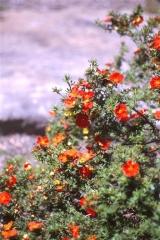 Лапчатка кустарниковая Ред Айс <br>Лапчатка кущова Ред Айс <br>Potentilla fruticosa Red Ace