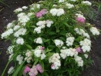 Спирея японская Широбана <br>Spiraea japonica Shirobana<br>Спірея японська Широбана
