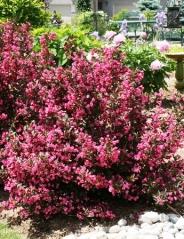 Вейгела цветущая Нана Пурпуреа <br>Вейгела квітуча Нана Пурпуреа <br>Weigela florida Nana Purpurea