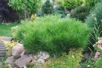 Сосна густоцветная Алиса Веркаде <br>Сосна густоквiткова Алiса Веркаде<br>Pinus densiflora Alice Verkade