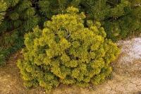 Сосна горная Карстенс Винтерголд <br>Сосна гiрська Карстенс Вiнтерголд<br>Pinus mugo Carstens Wintergold
