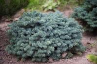 Ель колючая Вальдбрун <br>Ялина колюча Вальдбрун<br>Picea pungens Waldbrunn