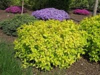 Спирея японская Голдмаунд <br>Спірея японська Голдмаунд<br>Spiraea japonica Goldmound (Розовый)