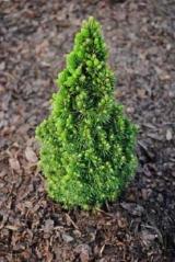 Ель канадская / сизая Пикколо <br>Ялина канадська / сиза Пікколо<br>Picea glauca Piccolo