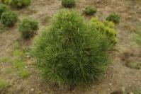 Сосна черная / австрийская Спилберг <br>Сосна чорна / австрійська Спiлберг<br>Pinus nigra Spielberg