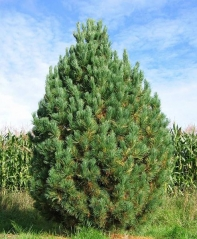 Кедр европейский / Сосна кедровая <br>Кедр європейський / Сосна кедрова <br>Pinus cembra