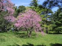 Церцис канадский / Иудино дерево <br>Церціс канадський / Іудове дерево<br>Cercis canadensis