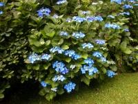 Гортензия крупнолистная Блаумайс <br>Гортензія крупнолиста Блаумайс <br>Hydrangea macrophylla Blaumeise
