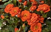 Роза Миниатюр Оранж <br>Троянда Мініатюр Оранж <br>Rosa Miniature Orange