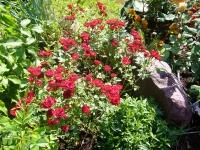 Роза полиантовая Рот зе Фейри <br>Троянда поліантова Рот зе Фейрі <br>Rosa polyantha Rote The Fairy