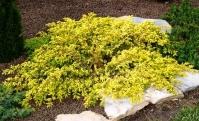 Можжевельник обыкновенный Депресса Ауреа <br>Ялівець звичайний Депресса Ауреа <br>Juniperus communis Depressa Aurea