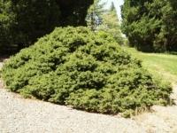 Ель обыкновенная / европейская Максвелли <br>Ялина звичайна / європейська Максвеллі <br>Picea abies Maxwellii