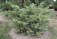 Можжевельник средний Блю энд Голд <br>Ялівець середній Блю енд Голд <br>Juniperus рfitzeriana Blue and Gold