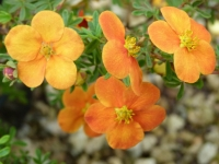Лапчатка кустарниковая Хоплейс Оранж <br>Лапчатка кущова Хоплейс Оранж <br>Potentilla fruticosa Hopleys Orange