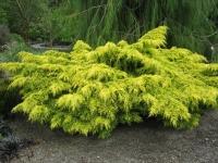 Можжевельник средний Кербери Голд <br>Ялівець середній Кербері Голд <br>Juniperus pfitzeriana Carbery Gold