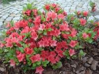 Рододендрон Гейша Оранж / Азалия <br>Рододендрон Гейша Оранж / Азалія <br>Rhododendron Geisha Orange / Azalea