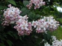 Дейция гибридная Монт Роуз <br>Дейція гібридна Монт Роуз <br>Deutzia hybrida Mont Rose