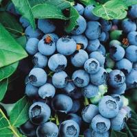 Голубика высокорослая Блюкроп <br>Лохина високоросла Блюкроп <br>Vaccinium corymbosum Bluecrop