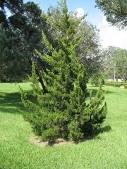 Можжевельник виргинский Канаэрти <br>Ялівець віргінський Канаерті <br>Juniperus virginiana Сanaertii