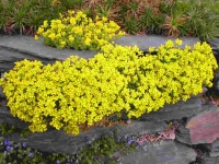 Крупка кавказская <br>Крупка кавказська <br>Draba bruniifolia