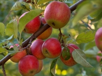 Яблоня домашняя Эмбасси (осенняя) <br>Яблуня домашня Ембасі (осіння) <br>Malus domestica Ambasy