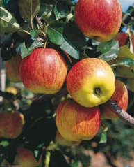 Яблоня домашняя Гала (осенняя) <br>Яблуня домашня Гала (осіння) <br>Malus domestica Gala