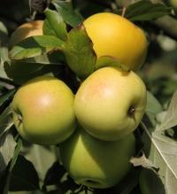 Яблоня домашняя Мутсу (зимняя) <br>Яблуня домашня Мутсу (зимова) <br>Malus domestica Mutsu