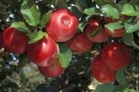 Яблоня домашняя Рубин-Стар (осенняя) <br>Яблуня домашня Рубін-Стар (осіння) <br>Malus domestica Rubin-Star