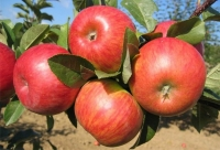 Яблоня домашняя Топаз (зимняя) <br>Яблуня домашня Топаз (зимова) <br>Malus domestica Topaz