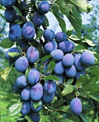 Слива колоновидная Империал (средняя) <br>Слива колоновидна Імперіал (середня) <br>Prunus domestica Imperial