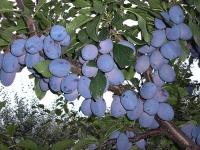 Слива домашняя Чачакская ранняя <br>Слива домашня Чачакська рання <br>Prunus domestica Chachak Early