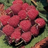 Малина ремонтантная Полка <br>Малина ремонтантна Полка <br>Rubus idaeus Polka