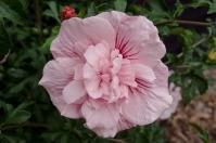 Гибискус сирийский Пинк Шифон <br>Гібіскус сирійський Пінк Шифон <br>Hibiscus Pink Chiffon