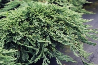 Можжевельник горизонтальный Панкейк <br>Ялівець горизонтальний Панкейк <br>Juniperus horizontalis Pancake