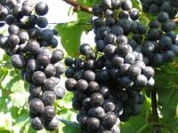 Виноград Регент <br>Виноград Регент <br>Vitis vinifera Regent