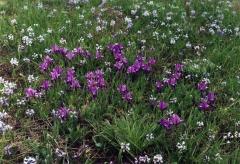 Ирис сибирский фиолетовый