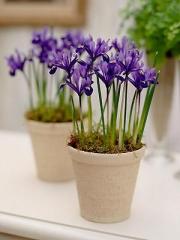 Iris фиолетовый