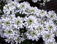 Иберис вечнозеленый Taхо описание