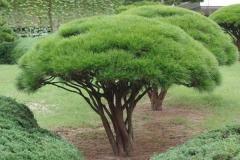 Сосна густоквіткова Умбракуліфера дерево