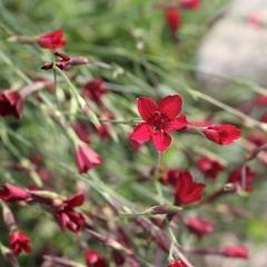 Гвоздика трав'янка Еректус<br>Гвоздика травянка Эректус <br>Dianthus deltoides Erectus
