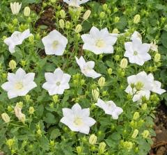 Дзвоники Уайт Кліпс квіти