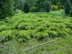 Juniperus pfitzeriana 'Aurea'