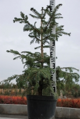 Ялиця біла - висота рослини 80 см