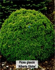 Ялина канадська Альберта Глобе <br>Ель канадская Альберта Глобе <br>Picea glauca Alberta Globe