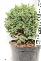 Picea glauca Alberta Globe 25-35 см