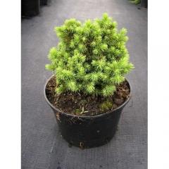 Picea glauca Alberta Globe в контейнері