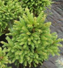 Ель обыкновенная Олендорфи Picea abies Ohlendorffii фото