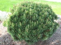 Сосна гірська Гном <br> Сосна горная Гном <br> Pinus mugo Gnom
