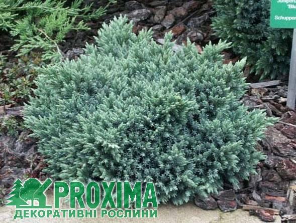 Ялівець чешуйчатый 'Блю Стар' Juniperus squamata 'Blue Star'